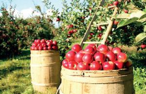 افزایش تولید سیب در اروپا و آمریکا
