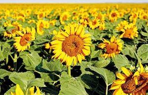 افزایش تولید دانه آفتابگردان در سال جاری